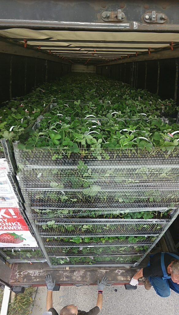 sadzonki truskawek cena