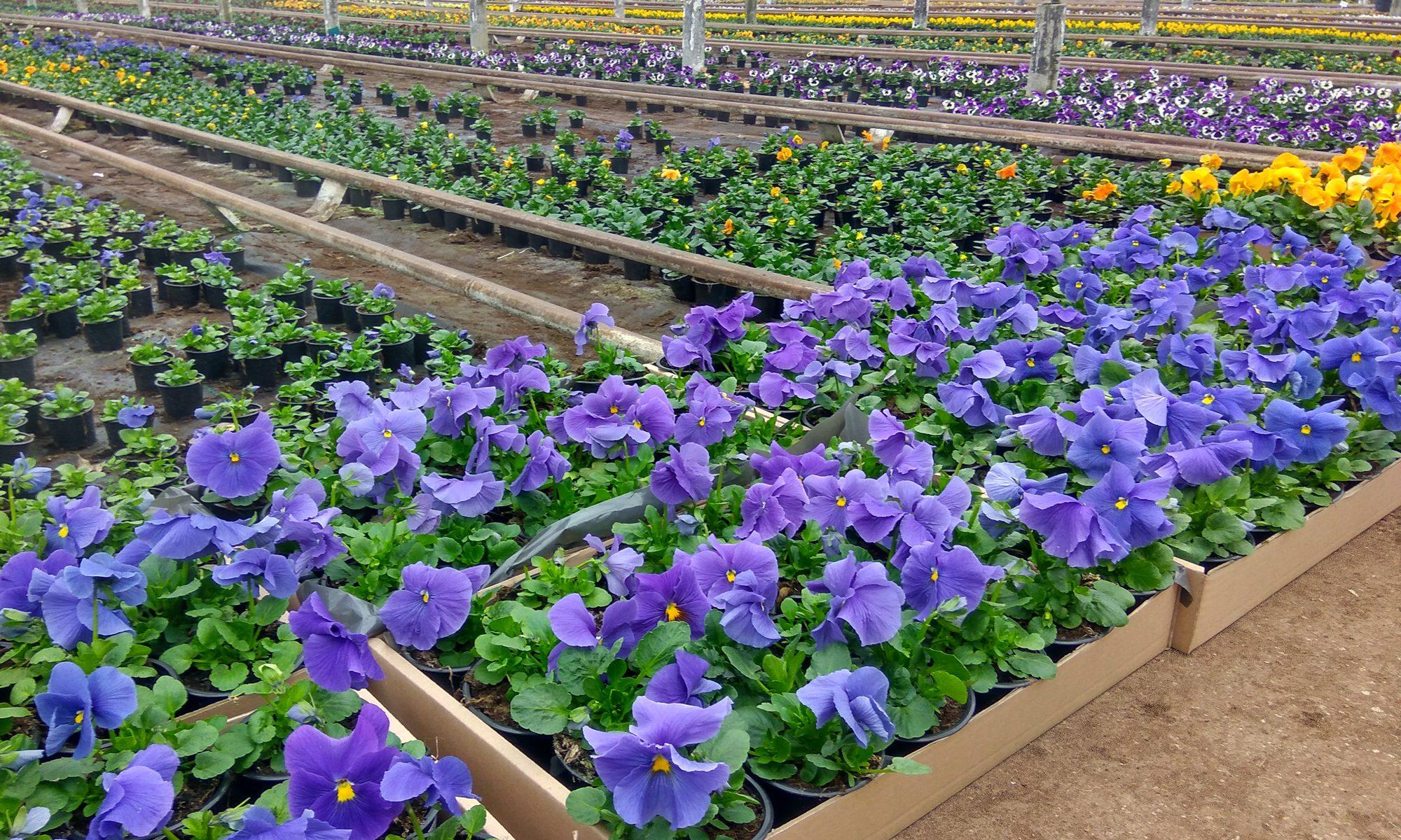 Bratki · Ogrodnictwo TOP-PLANT™