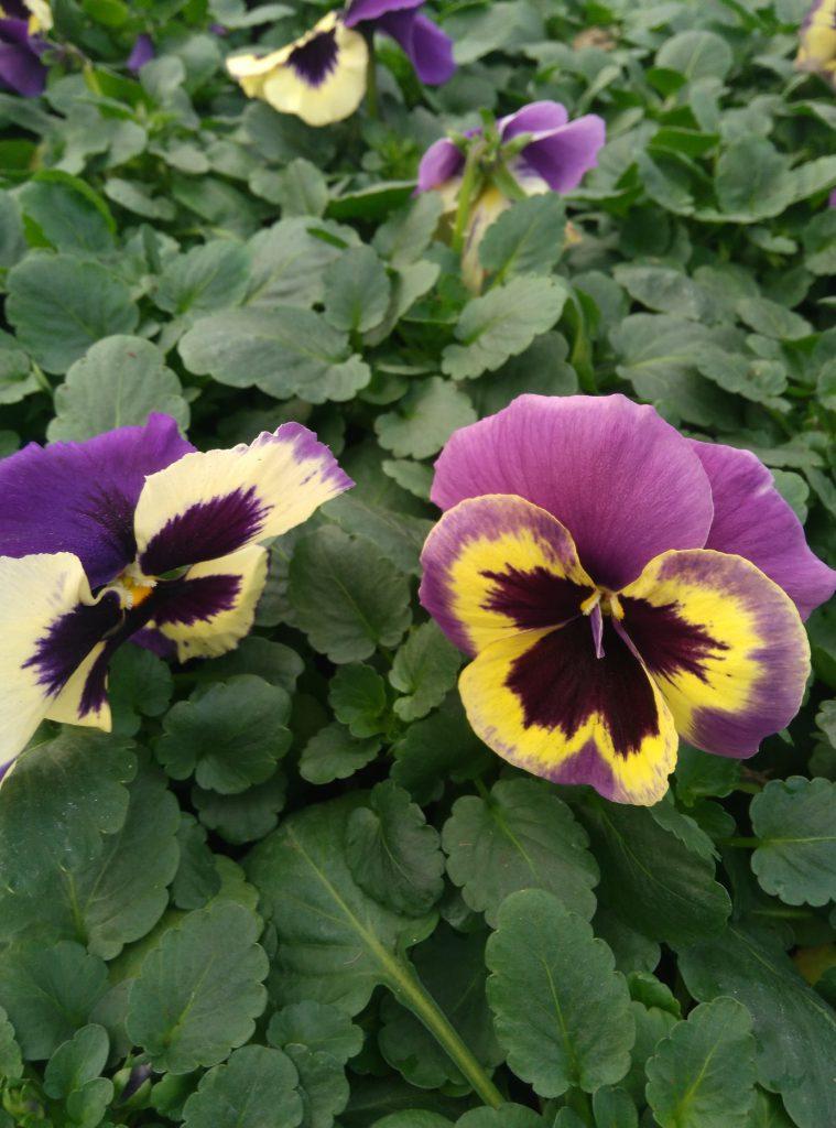 kwiaty wiosenne hurt